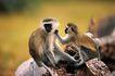 猩猩和类人猿0086,猩猩和类人猿,动物,