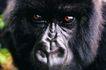 猩猩和类人猿0089,猩猩和类人猿,动物,