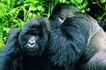 猩猩和类人猿0091,猩猩和类人猿,动物,黑猩猩 类人猿