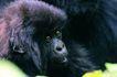 猩猩和类人猿0092,猩猩和类人猿,动物,黑色毛发 面孔