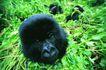 猩猩和类人猿0093,猩猩和类人猿,动物,青草 头部