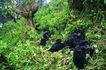 猩猩和类人猿0094,猩猩和类人猿,动物,原野 野外