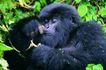 猩猩和类人猿0095,猩猩和类人猿,动物,睡觉 睡姿