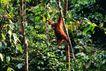 猩猩和类人猿0096,猩猩和类人猿,动物,树林 攀爬
