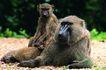 猩猩和类人猿0097,猩猩和类人猿,动物,