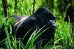 猩猩和类人猿0098,猩猩和类人猿,动物,草丛 生存环境