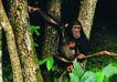 猩猩和类人猿0099,猩猩和类人猿,动物,大自然 树杆