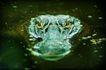 蜻蛙0025,蜻蛙,动物,