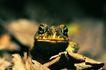 蜻蛙0038,蜻蛙,动物,
