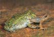 蜻蛙0073,蜻蛙,动物,