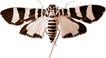 蝴蝶百科0226,蝴蝶百科,动物,飞蛾