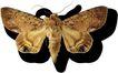 蝴蝶百科0251,蝴蝶百科,动物,
