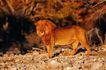 野生图影0068,野生图影,动物,狮子