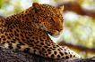 野生图影0074,野生图影,动物,一头豹子