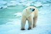 野生图影0095,野生图影,动物,北极 北彩熊