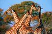 野生图影0100,野生图影,动物,长颈鹿 野生动物