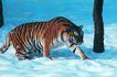 非洲动物0022,非洲动物,动物,老虎