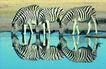 非洲动物0023,非洲动物,动物,几只斑马