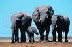 非洲动物0024,非洲动物,动物,象群