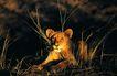 非洲动物0027,非洲动物,动物,草丛里的猛兽