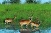 非洲动物0041,非洲动物,动物,几头鹿