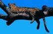 非洲动物0042,非洲动物,动物,树干上的豹子