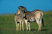 非洲动物0043,非洲动物,动物,斑马