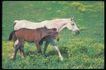 马和鹿0138,马和鹿,动物,