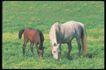 马和鹿0142,马和鹿,动物,