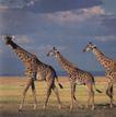 马和鹿0161,马和鹿,动物,几头长颈鹿