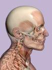 肌肉人体模型0037,肌肉人体模型,医疗,
