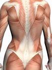 肌肉人体模型0045,肌肉人体模型,医疗,