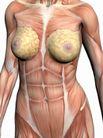 肌肉人体模型0046,肌肉人体模型,医疗,