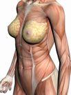 肌肉人体模型0048,肌肉人体模型,医疗,