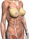 肌肉人体模型0049,肌肉人体模型,医疗,