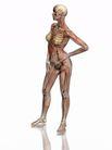 肌肉人体模型0051,肌肉人体模型,医疗,