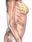 肌肉人体模型0053,肌肉人体模型,医疗,
