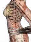 肌肉人体模型0055,肌肉人体模型,医疗,