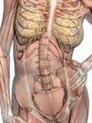 肌肉人体模型0056,肌肉人体模型,医疗,