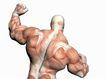 肌肉人体模型0072,肌肉人体模型,医疗,