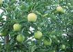 水果果实0146,水果果实,水果食品,