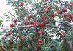 水果果实0148,水果果实,水果食品,