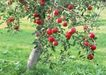 水果果实0149,水果果实,水果食品,