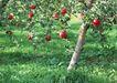水果果实0150,水果果实,水果食品,