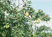 水果果实0153,水果果实,水果食品,