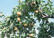 水果果实0154,水果果实,水果食品,