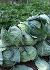 丰收大地0172,丰收大地,农业,包菜 卷心菜