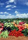 丰收大地0184,丰收大地,农业,蓝天 时令蔬果