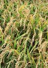 丰收大地0199,丰收大地,农业,麦穗