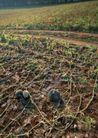 丰收大地0226,丰收大地,农业,瓜地 西瓜 瓜藤